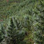 Marihuana en Colombia