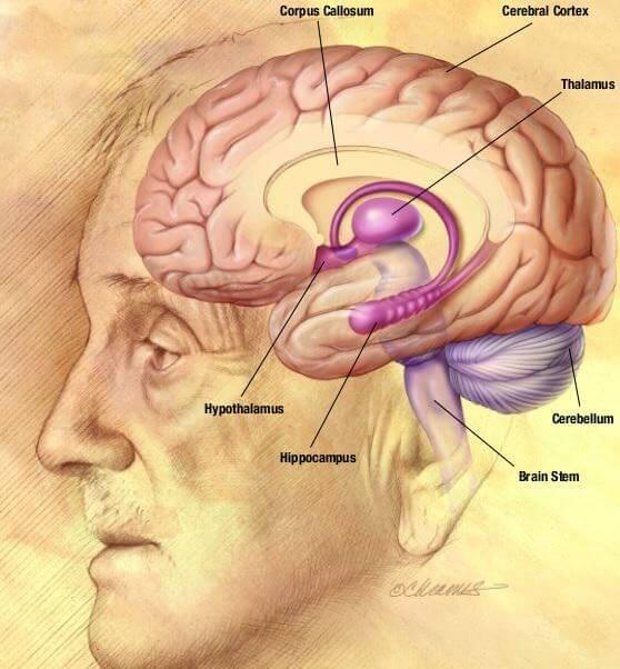 El cerebro y sus distintas partes
