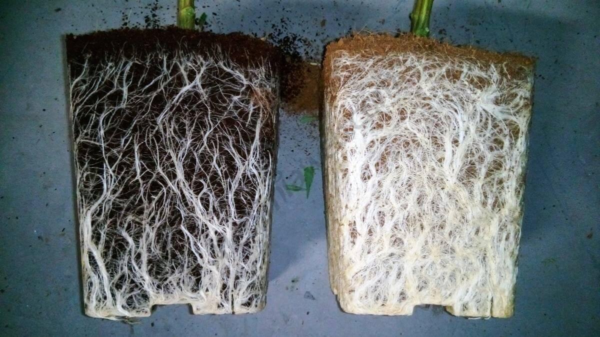raíces sin y con trichodermas