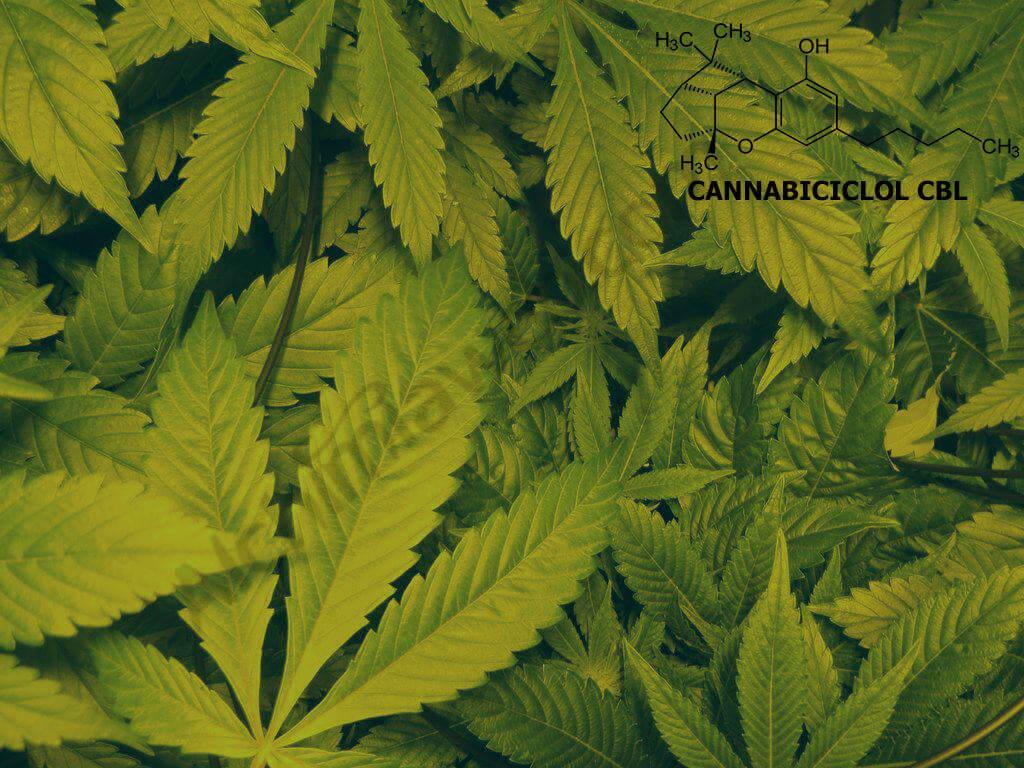 El cannabis produce cannabiciclol o CBL