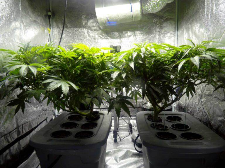 Es importante mantener la distancia correcta entre el foco y las plantas