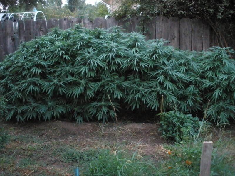 En ocasiones debemos controlar la altura de las plantas