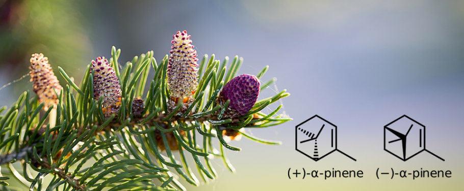 El pineno es común en un gran número de plantas