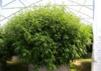 Enorme planta de marihuana cultivada en exterior y sustrato tierra