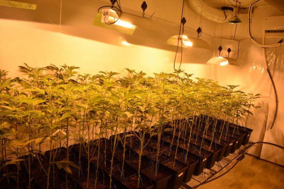 Cultivo de prueba de Clementine Kush de Colorado Seed