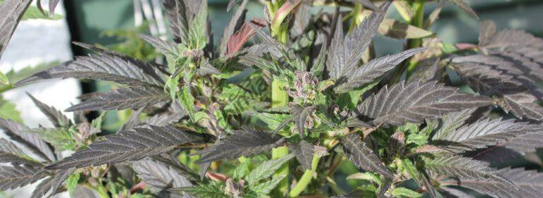 El cannabis es uno de los ingredientes principales del Bhang Lassi