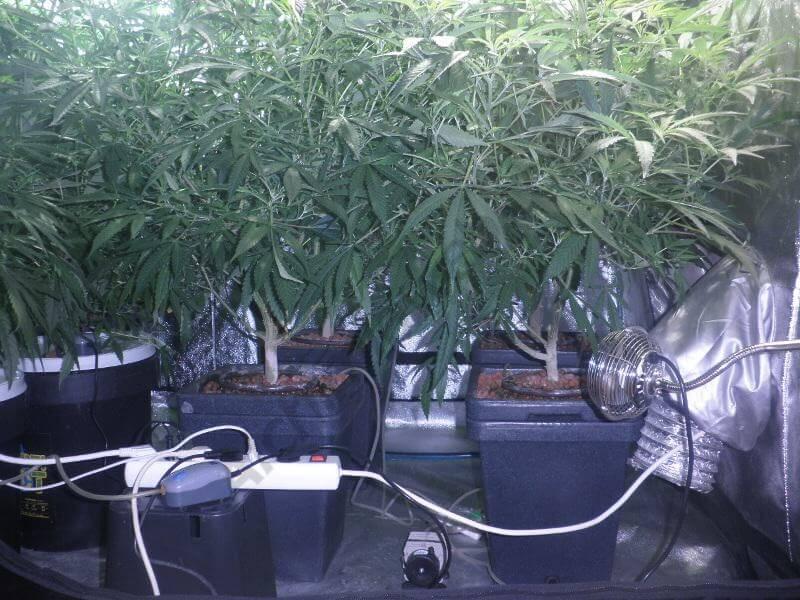 Cultivo de marihuana con sustrato de arlita