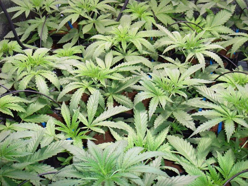 Híbrido de marihuana índica/sativa