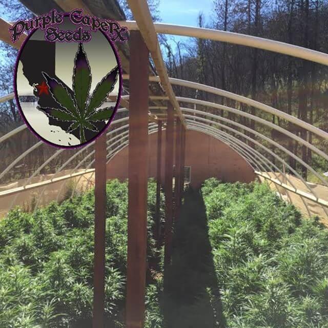 Selección para exterior de los mejores híbridos de Purple Caper Seeds