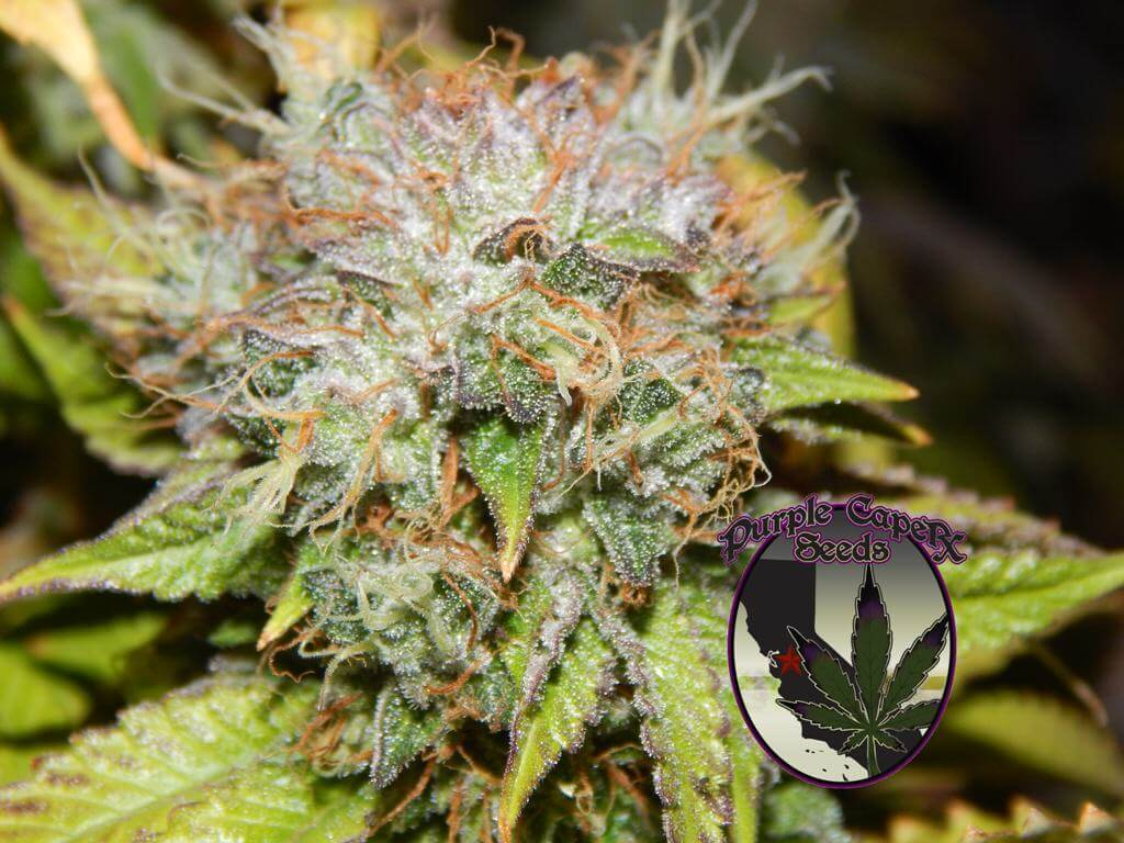 wedding cake feminised seeds presentaci 243 n de purple caper seeds grow shop 22603
