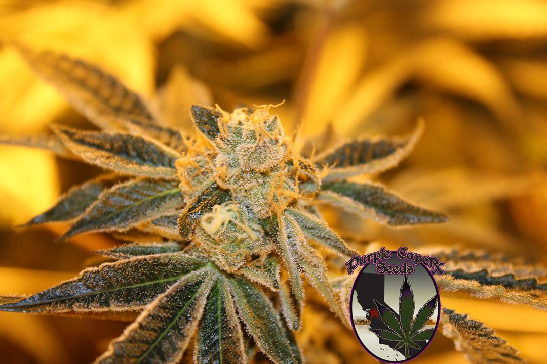 Sherbert BX de Purple Caper Seeds