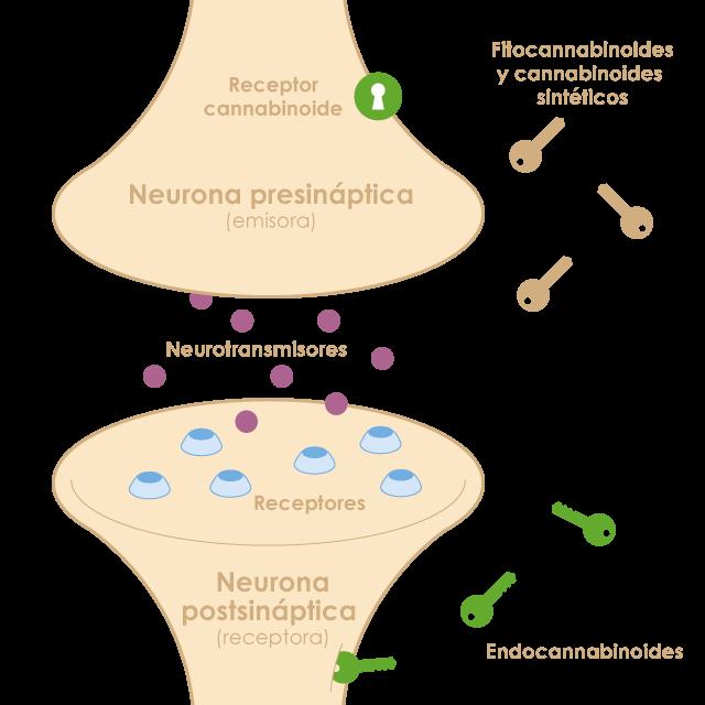 El sistema endocannabinoide