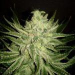 Bubble Kush regular con 44 días floración usando aminoácidos