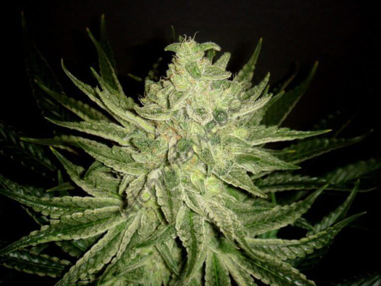 Los azúcares en el cultivo de marihuana