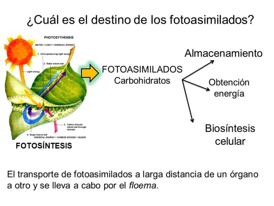 Usos de los carbohidratos en las plantas