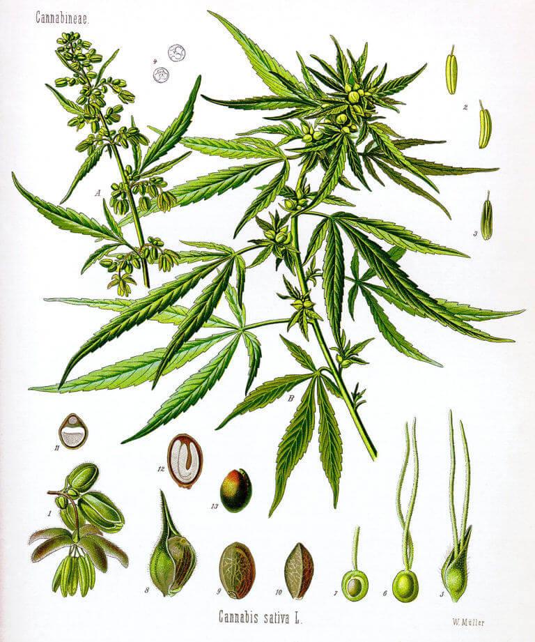 Partes de la flor de cannabis macho y hembra