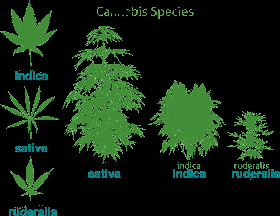 Tipos de hojas de cannabis