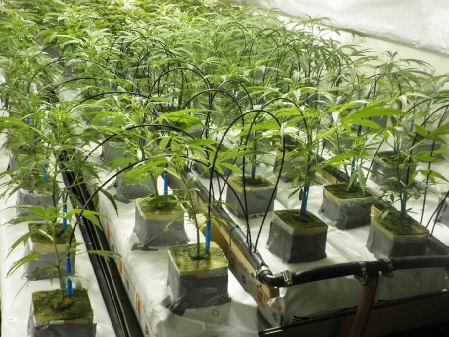 Automatic irrigation in a cannabis grow