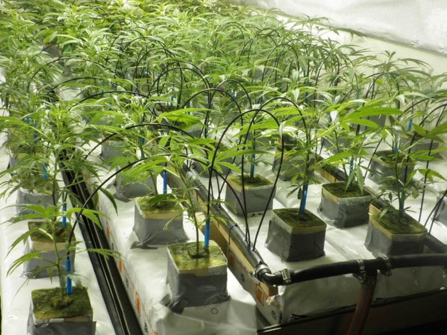 Riego automatico en el cultivo de cannabis