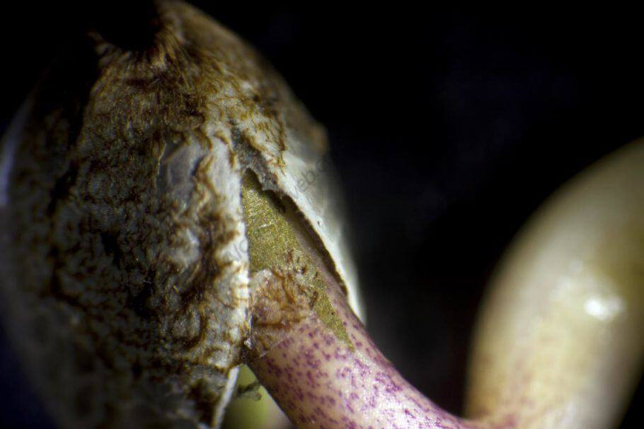 Detalle de una semilla de cannabis germinando