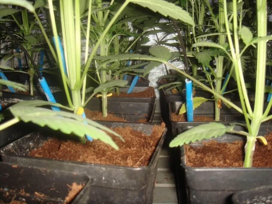 Flushing the roots with automatic irrigation