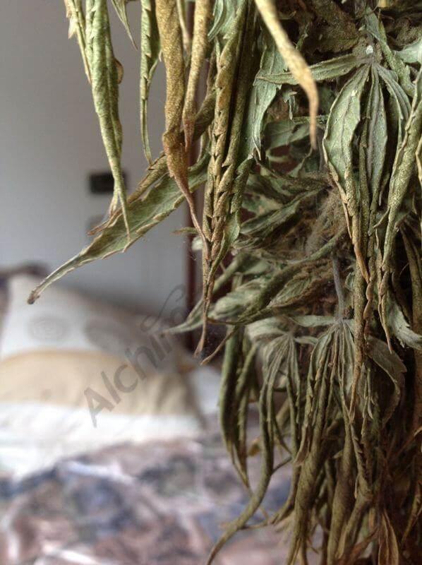 Muerte de la planta marihuana por falta de agua
