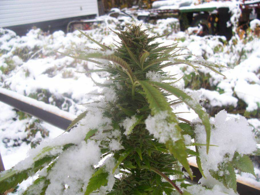 Cannabis in cold conditions