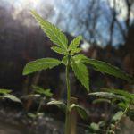 Plántula de marihuana