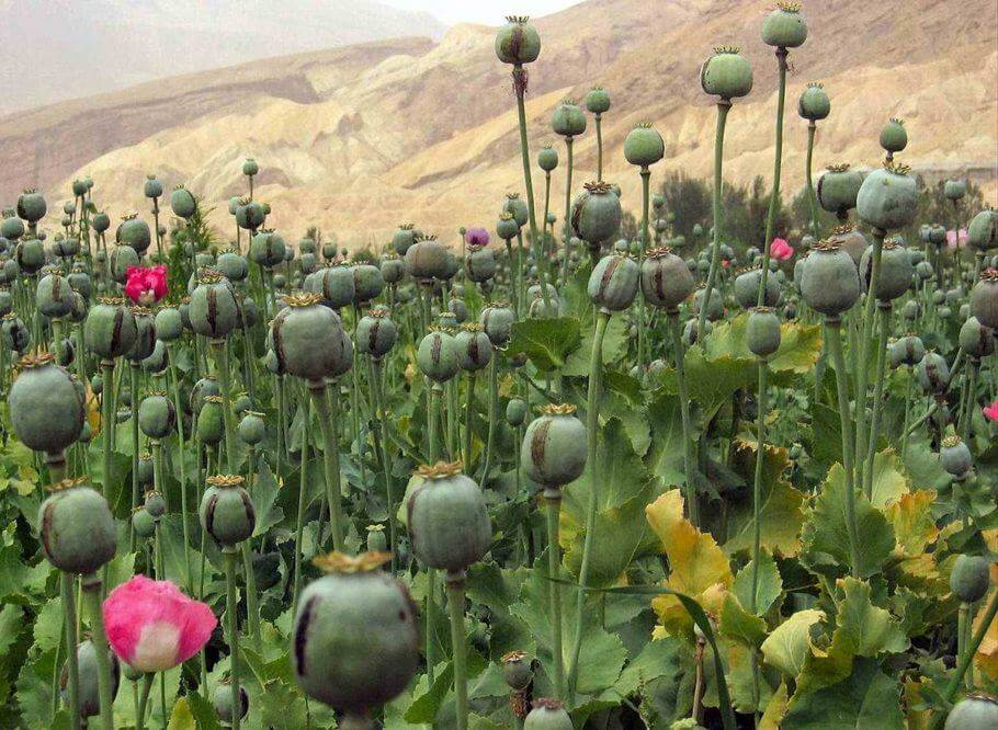 As hashish production increases, opium decreases