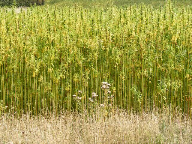 Hemp grows tall, without side branches