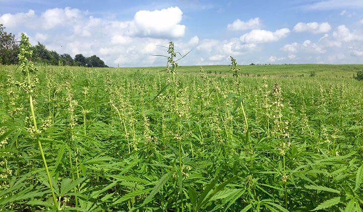 Male plants are not usually removed from hemp fields