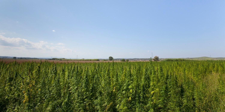 Campos de cultivo ecológico de cáñamo industrial donde se producen las semillas