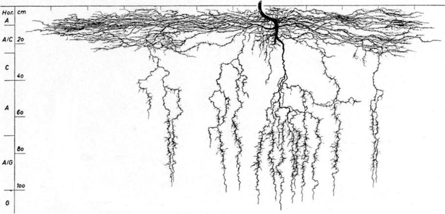 Esta interesante gráfica muestra la estructura y forma de las raíces de una planta de cannabis (Fuente: Wikimedia)
