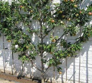 Ejemplo de cultivo de un árbol frutal en espaldera