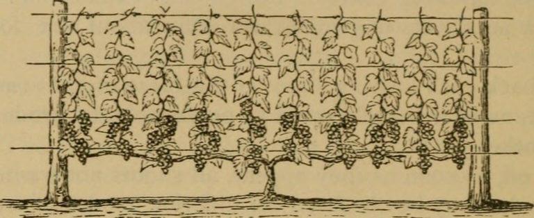 Las técnicas de entutorado y guiado son tradicionales en viñedos