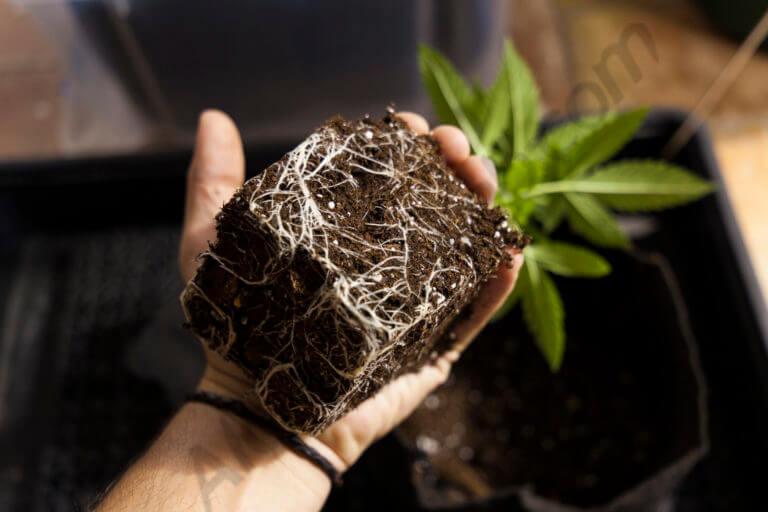 Las raíces de las plantas de marihuana