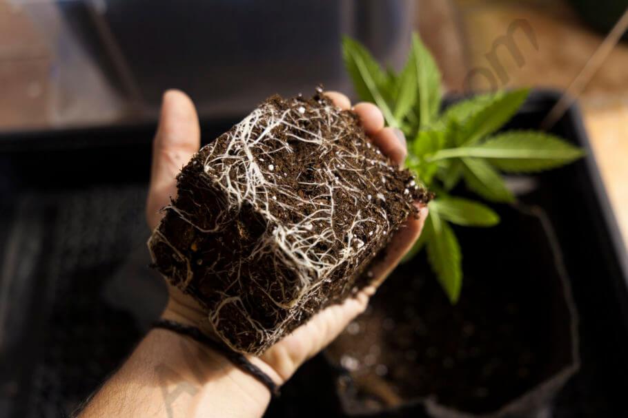 Unas raíces sanas significan una planta sana
