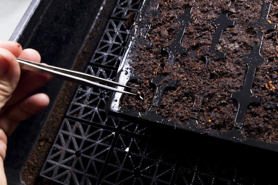 El momento de plantar la semilla germinada es también importante