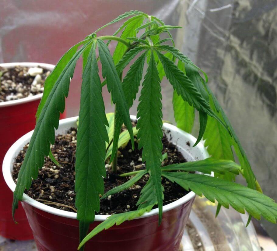 Planta de cannabis con claros síntomas de falta de riego