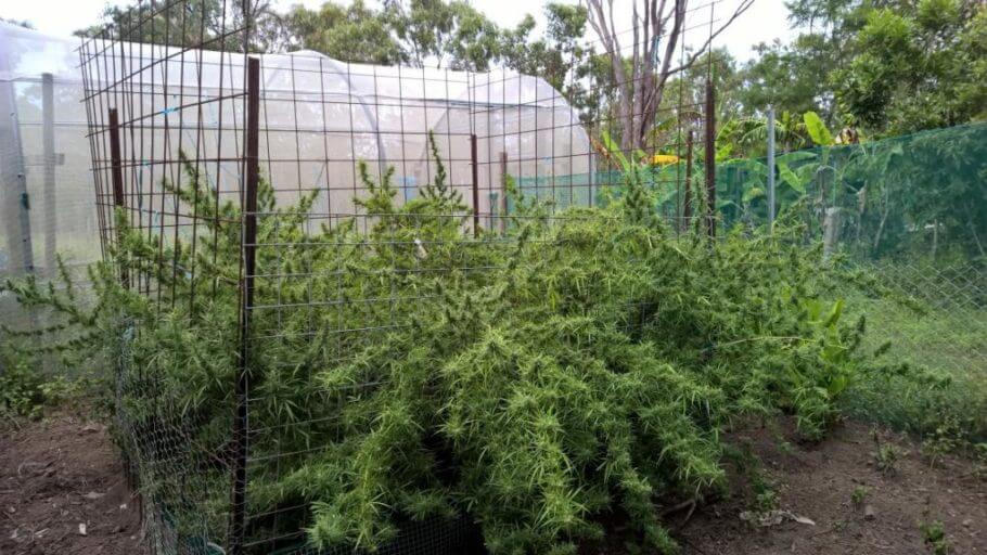 Cultivo de Zamal en exterior