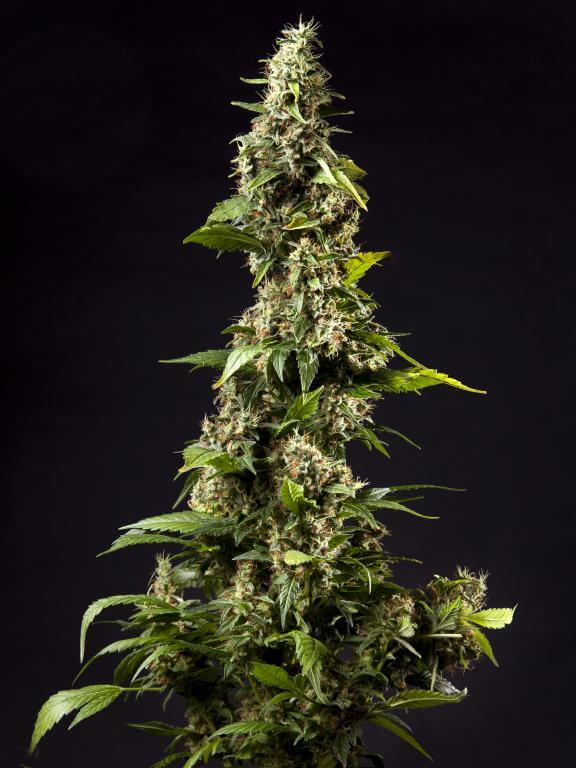 Espectacular Orange Candy feminizada de Philosopher Seeds