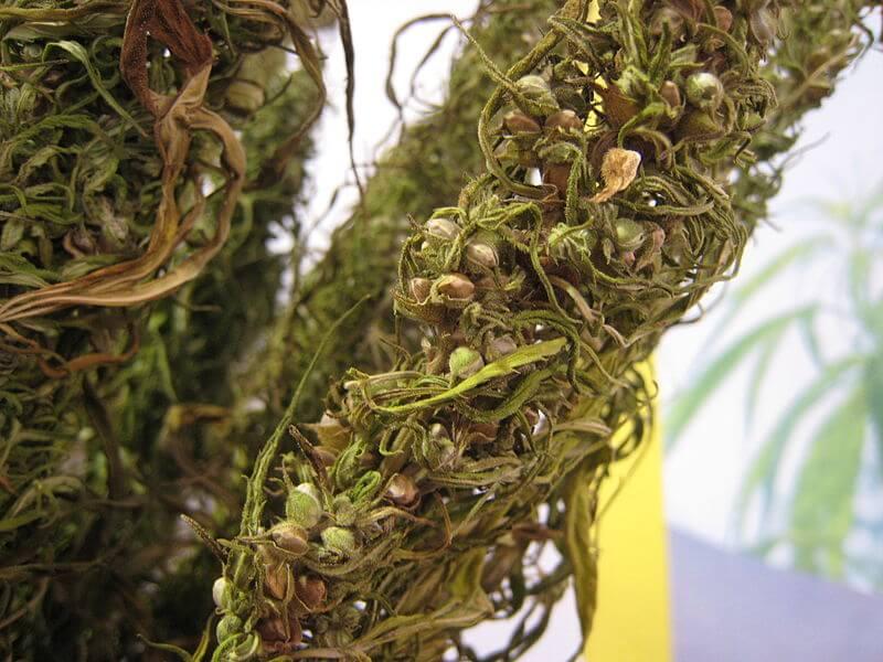 Una de las funciones de los terpenos sería la de proteger a la semilla hasta el momento de su germinación