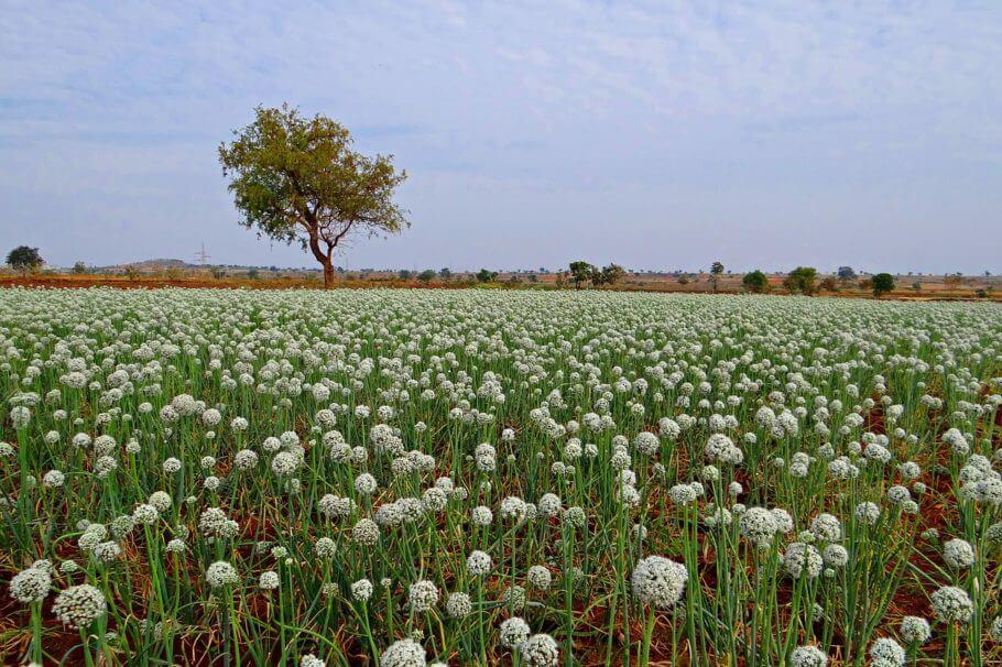 El Neem se utiliza en agricultura orgánica en todo el mundo