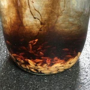 Una vez limpias, las dejamos en remojo en agua limpia toda la noche. Añadir ahora la harina de kelp infusionará el agua con hormonas de crecimiento, acelerando el proceso de germinación. En este caso, hemos usado Alga Plus de Jumus.