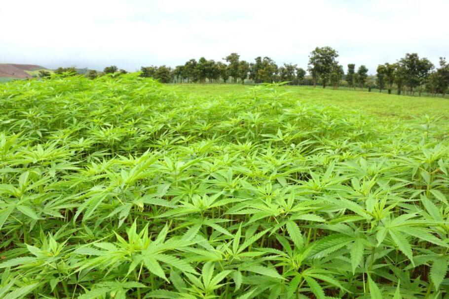 El cannabis tailandés tiene fama de ser especialmente psicoactivo (Foto: The Thaiger)