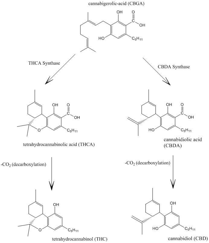 THCA y CBDA se convierten en THC y CBD gracias a la descarboxilación