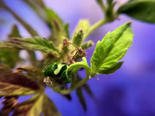 Primeros síntomas de regeneración en un Forbidden Candy de Aficionado Seeds (fuente: Instagram @theenglishcut)