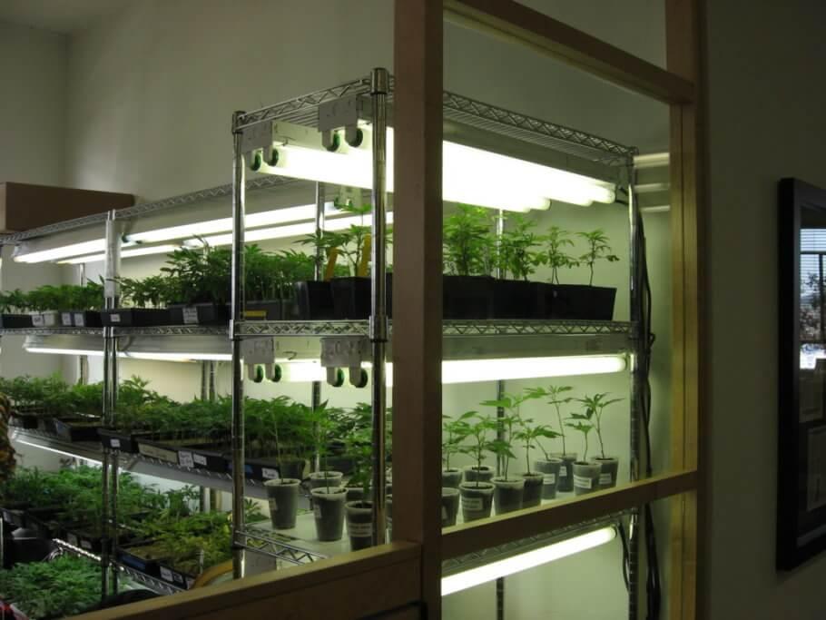 Los clones pueden hacer llegar plagas a nuestro cultivo