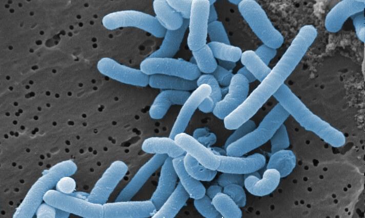 Los lactobacillus juegan un importante rol en la preparación del Bokashi