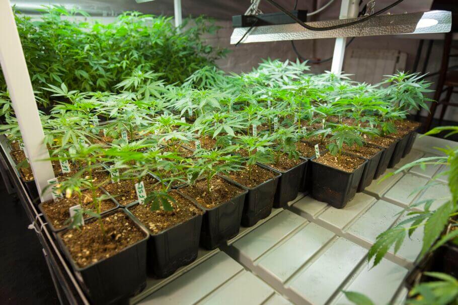 Se mantienen clones de las plantas a seleccionar hasta que se elige a la futura madre